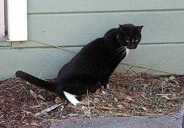 bijgesneden plassende kat