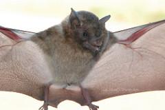 Rabiës komt veel voor bij vleermuizen