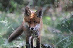 Via een beet van een besmette vos kan je rabiës oplopen