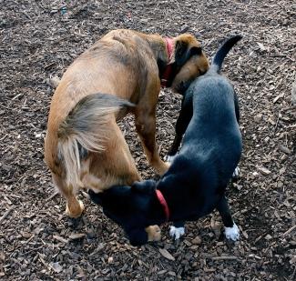 Giardia gaat snel over van hond op hond