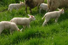 Lammetjes op de kinderboerderij