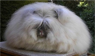 angora konijn
