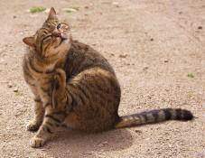 Krabbende kat