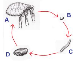 levenscyclus vlo