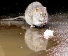 rat op straat