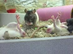 ratten als huisdier